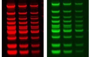 GelRed-GelGreen_Biotium_Interchim_1016